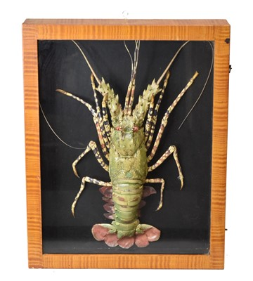 Lot 36 - Taxidermy: a cased full lobster