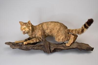 Lot 40 - Taxidermy: a European wildcat