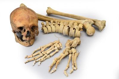 Lot 28 - Anatomy: a medical half skeleton, unassembled