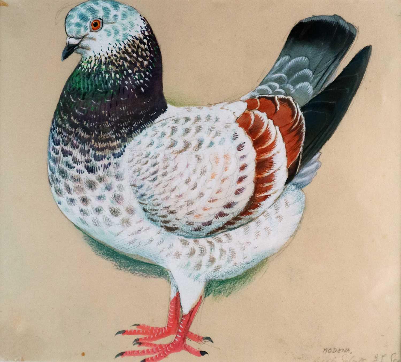 Lot 31 - Charles Frederick Tunnicliffe OBE RA (1901-1979) Modena Pigeon