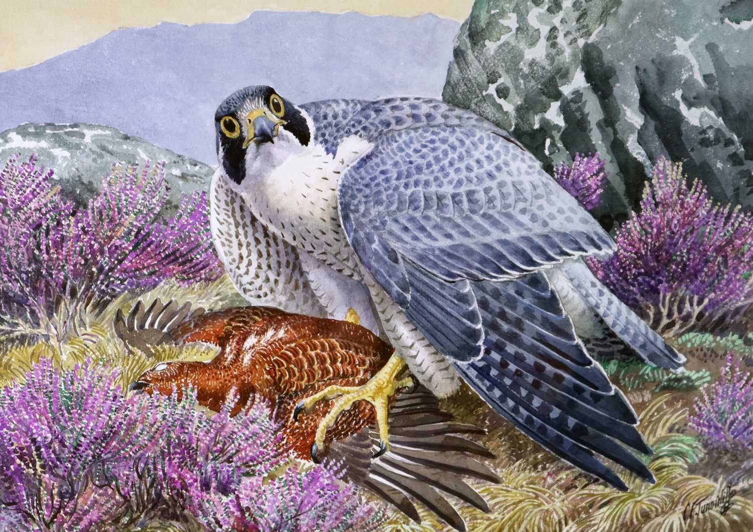 40 - Charles Frederick Tunnicliffe OBE RA (1901-1979) Peregrine Falcon with Grouse